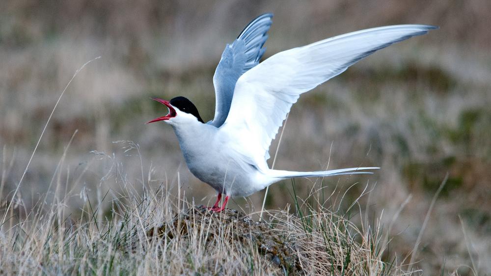 Les meilleurs endroits pour observer les oiseaux en Islande