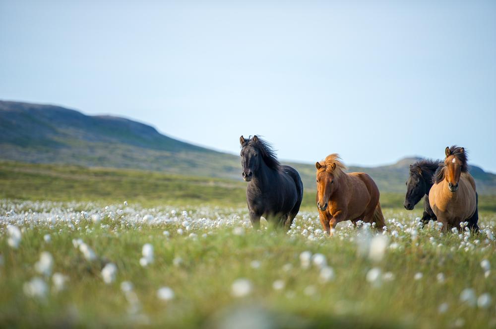 A propos du cheval islandais